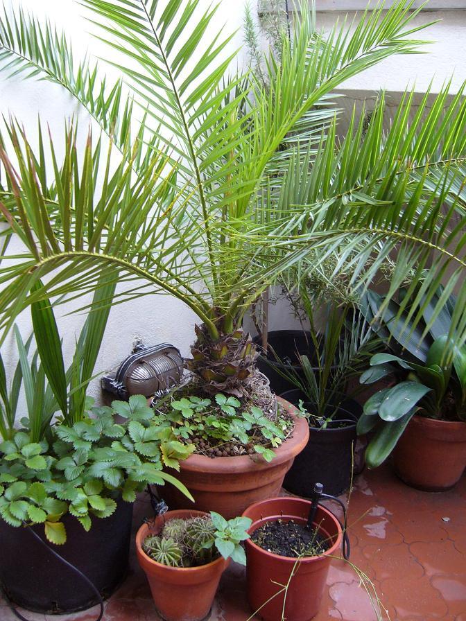 Fatevi la palma da datteri pagina 3 - Costo palma da giardino ...