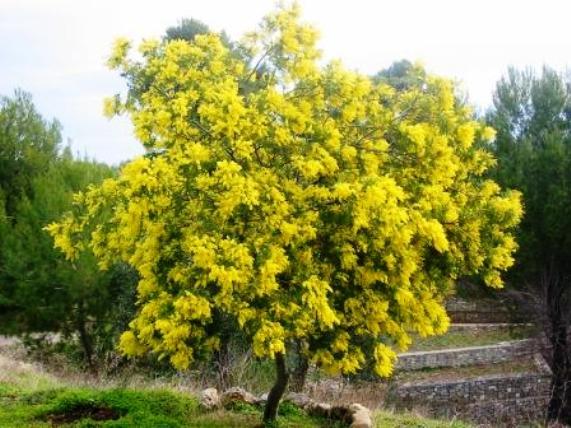Aux arbres citoyens belote coinch e gratuite en - Alberi a crescita rapida sempreverdi ...