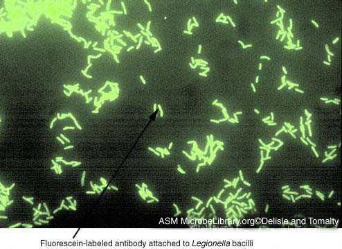 Cryptosporidium dfa test for pertussis