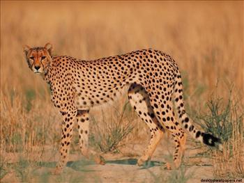 [Immagine: ghepardo1.jpg]