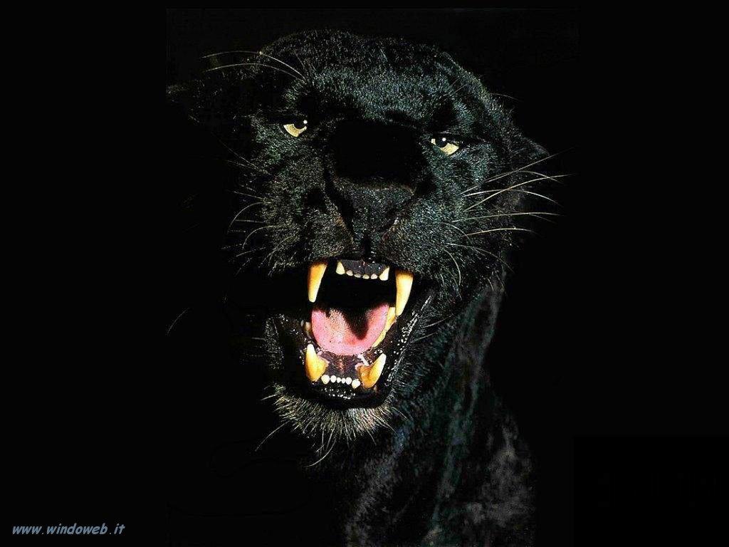puma nera