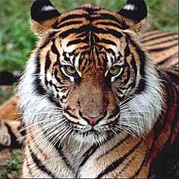 La tigre for Disegni delle tigri