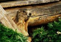 Marmotta small.jpg (11153 byte)