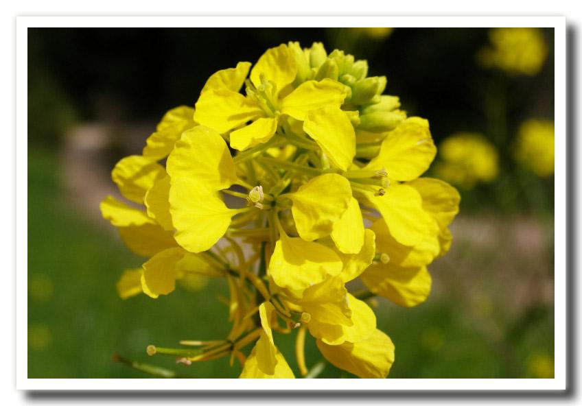 (Fiori lung cancer stomach pains  transformerless fiori  fiori di la murr...