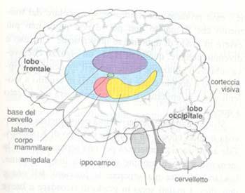 Aree del cervello memoria
