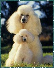 Il barbone un cane dall 39 intelligenza molto acuta adatto for Cane barbone
