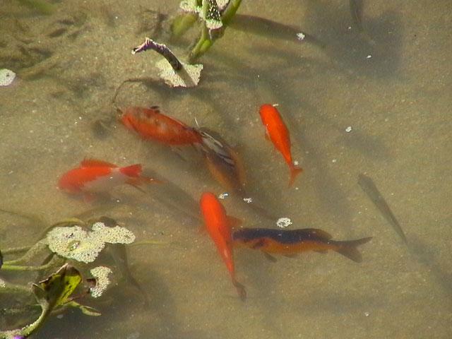 Sito per gli appassionati di laghetti pesci for Pesci rossi piccoli