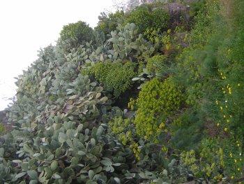 La flora della timpa d acireale for Piccoli alberi sempreverdi