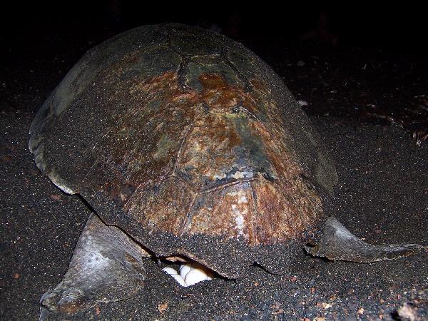 Il centro di recupero per le tartarughe marine di linosa for Deposizione uova tartarughe terrestri