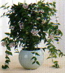 Piante da fiore for Pianta fiori di cera