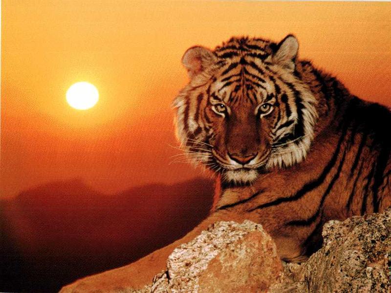 http://digilander.libero.it/meins/sfondi%20animali/tigre.jpg