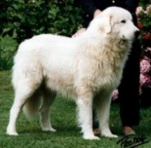 Maremmano Abruzzese Sheepdog