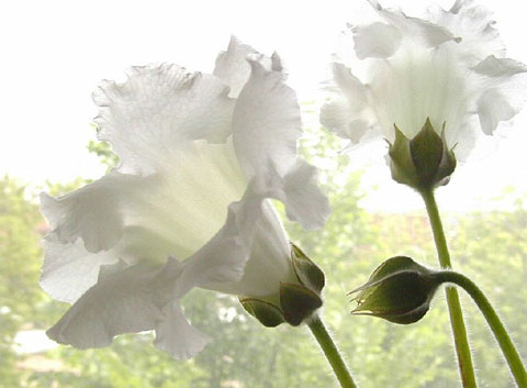 http://digilander.libero.it/mirtobianco28/Mara1/fiori_bianchi.jpg