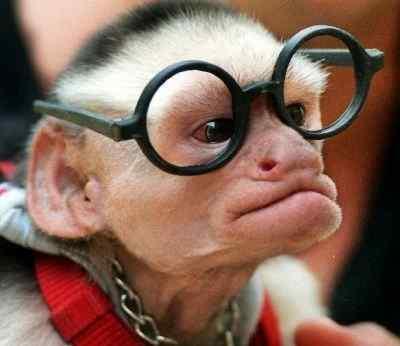 scimmia morton0