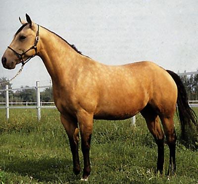 Il Quarter Horse