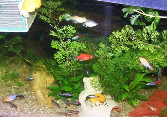 Schede pesci tropicali for Pesci per acquario piccolo