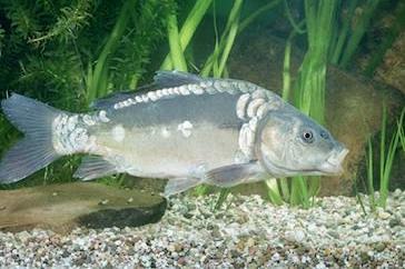 Aaapassione pesca tutto e di pi sull 39 ittica - Carpa a specchio ...