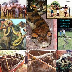 Anacondas (302 Kb)
