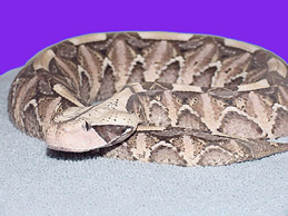 Gabon Viper (139 Kb)