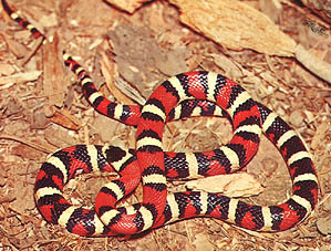 North American King snake (261 Kb)