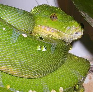 Green Tree Python (203 Kb)