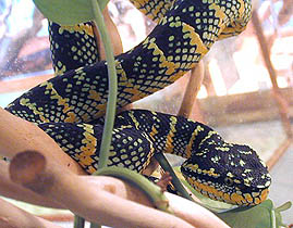 Wagler's Temple palm viper (87 Kb)