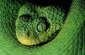 Western Bush viper (96 Kb)