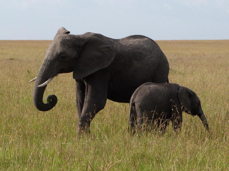 elefanti, kenya