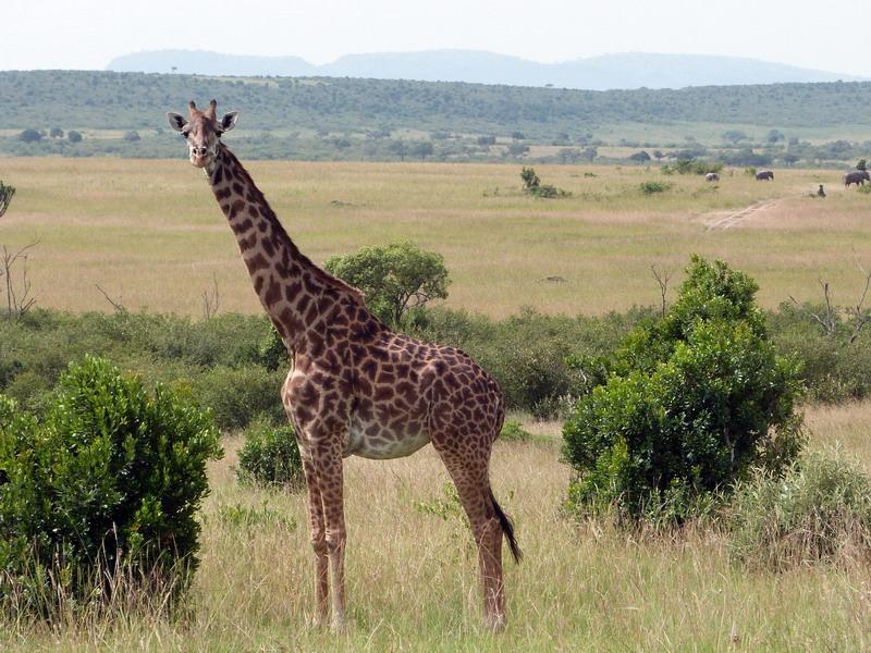 giraffa, kenya, national park