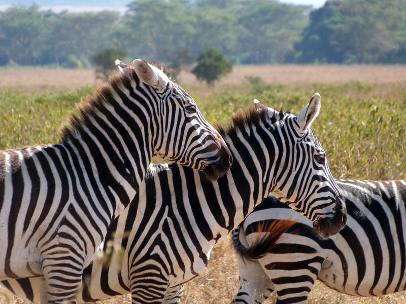 zebra, juve, kenya