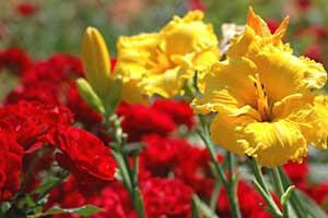 Coltivare fiori da giardino - Grossi fiori da giardino ...