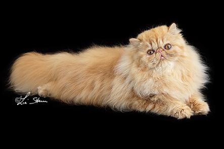 pitti allevamento gatti persiani exotic himalayan home