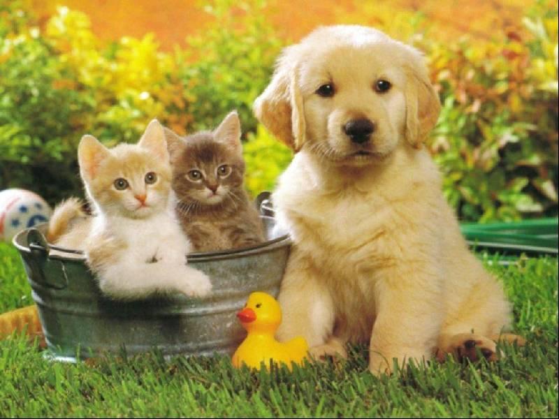 Cani 1 pugenz foto sfondi desktop wallpapers cani for Sfondi desktop animali