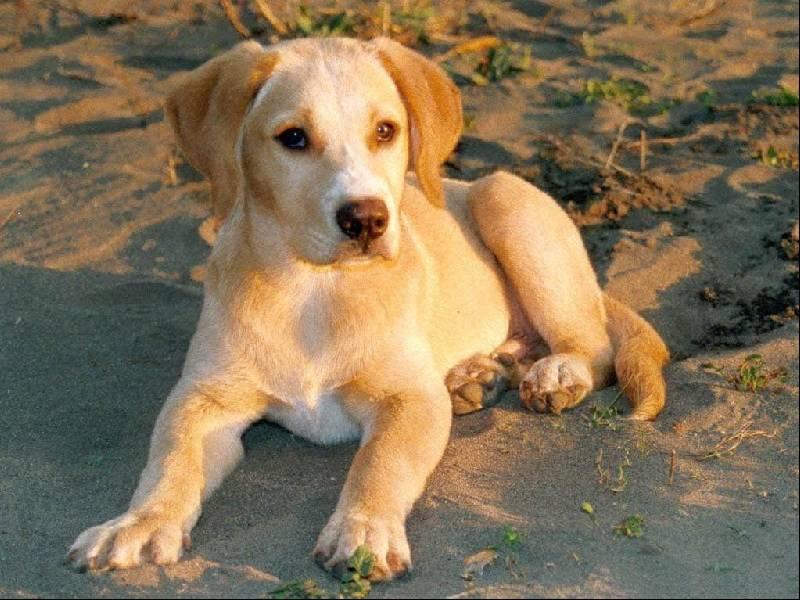 Cani 1 pugenz foto sfondi desktop wallpapers cani for Foto desktop animali