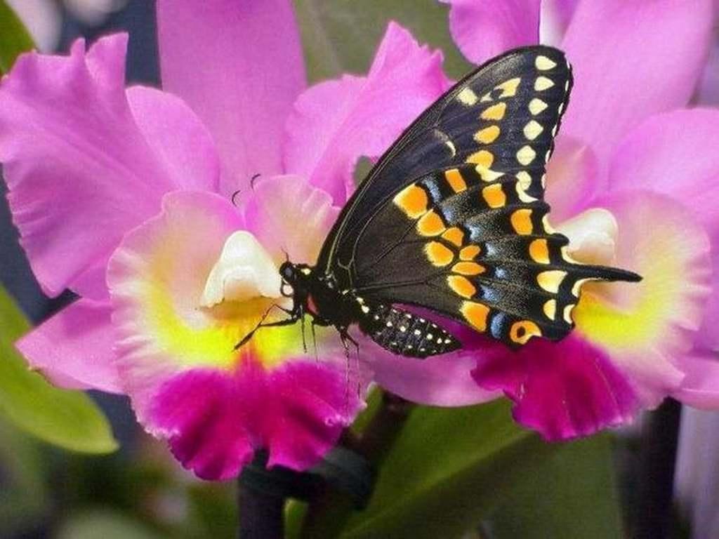 Farfalle pugenz foto sfondi desktop wallpapers farfalle for Immagini sfondo natura
