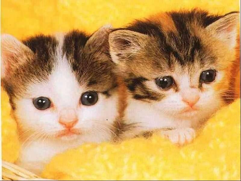 Gatti 1 pugenz foto sfondi desktop wallpapers gatti for Gatti sfondi desktop gratis