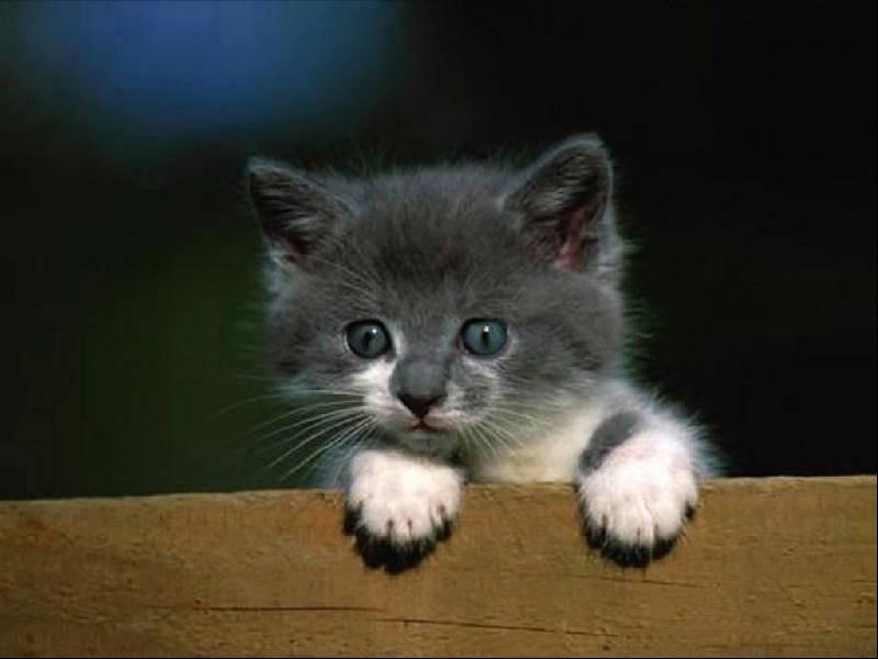 Gatti 1 pugenz foto sfondi desktop wallpapers gatti - Image de petit chat ...