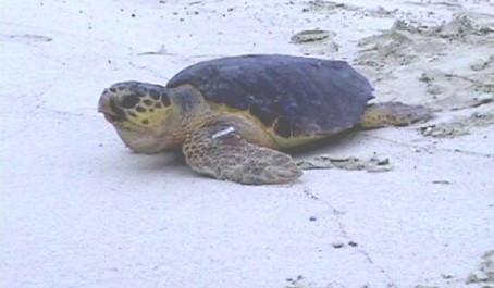 Le tartarughe marine for Temperatura tartarughe