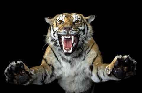 Tigri e fiori di loto su sonocuriosa for Disegni delle tigri