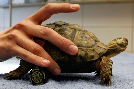 tartaruga con ruote