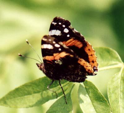 Segnali dal fantastico mondo delle farfalle articoli - Pagina colorazione pavone ...