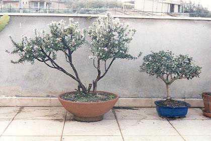 Bonsai e pre bonsai rosmarino e for Bonsai di ulivo