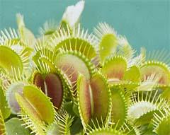 Introduzione alle piante carnivore for Pianta carnivora dionea