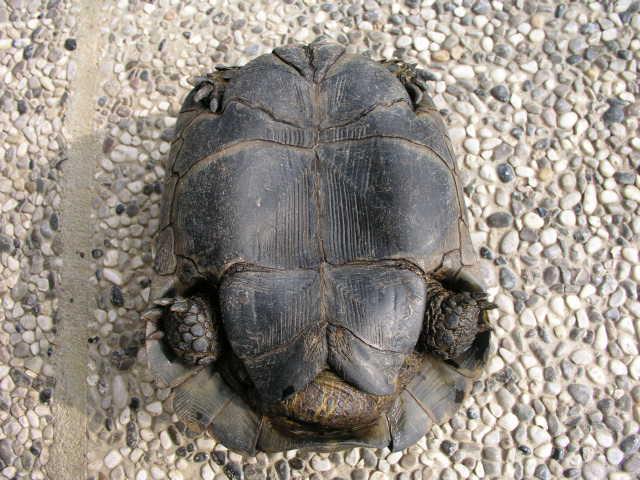 Riconoscimento testudo tartaclubitalia for Accoppiamento tartarughe