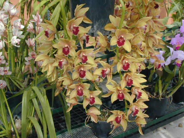 Orchidee vivaio del circeo for Orchidee da esterno