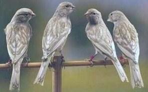 Maschi nero pastello ala grigia bianco (allevamento F. Chieppa - foto Alcedo)