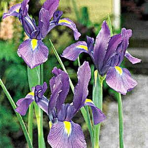 Iris5. (86474 byte)