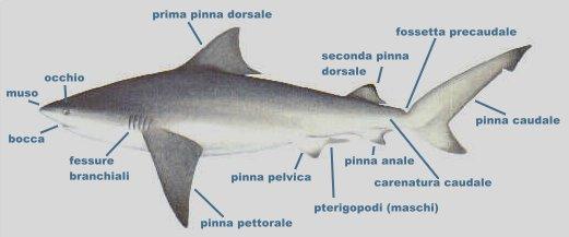 Cenni biologici sugli squali forma del corpo e movimento for Disegno squalo bianco