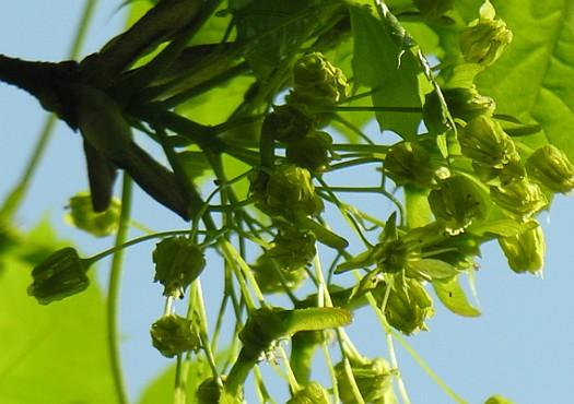 Acero riccio acer platanoides l i fiori for Acero riccio