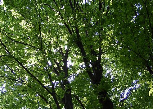 Carpino bianco for Chioma albero